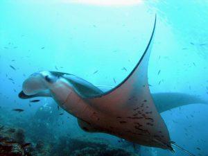 с дайвинг клубом «Морской Пегас» - Мальдивы